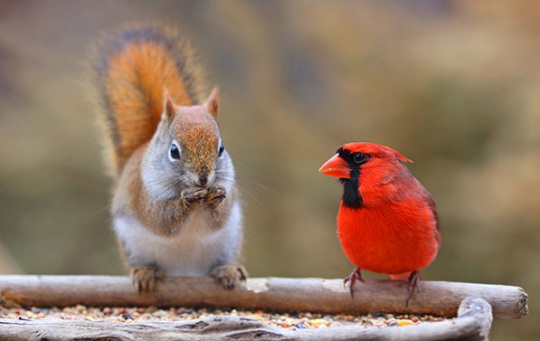 Squirrel and cardinal eating bird seed