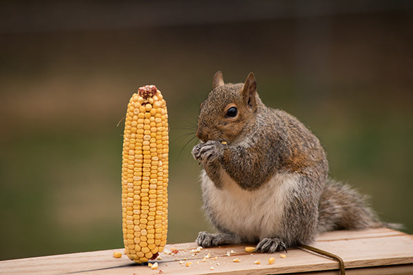 Squirrel eating dried corn