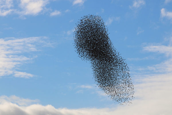 starling murmuration among clouds