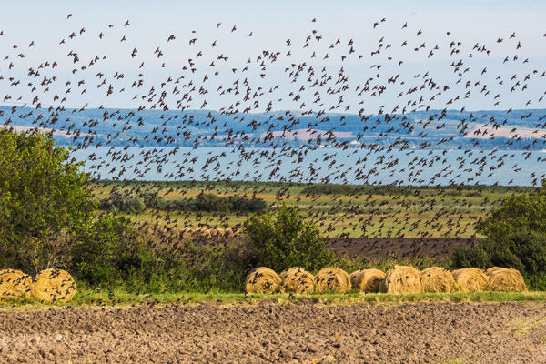 Starling murmuration on farmland