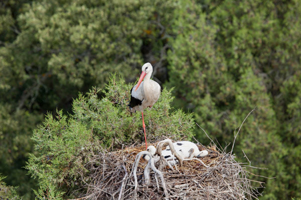 Stork at nest with its chicks