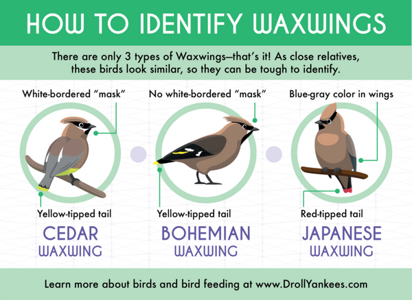 Infographic on identifying waxwing birds