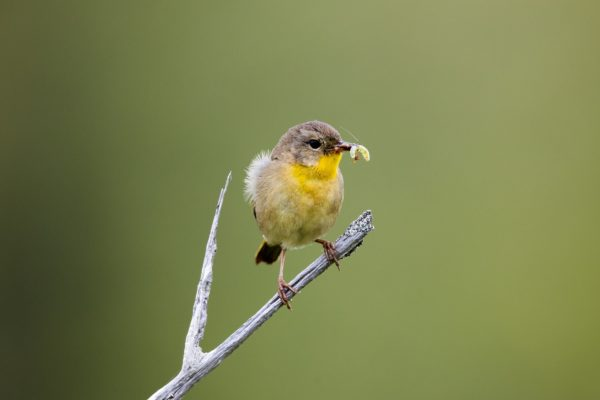 Yellow bird eating a worm while perched on a branch.
