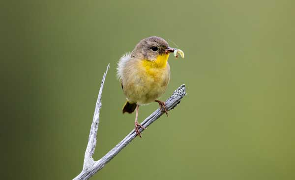 Warbler eating an insect while perched on a twig.