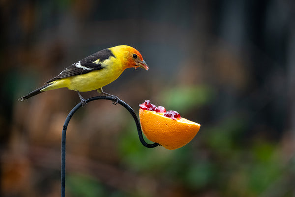 western tanager with orange and jelly