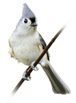 Bird tufted titmouse