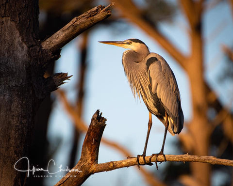 A Great Blue Heron in Early Morning Light
