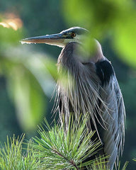 https://jillianchilsonphotography.com/collections/wildlife-art-prints/products/heron-in-hiding-art-print