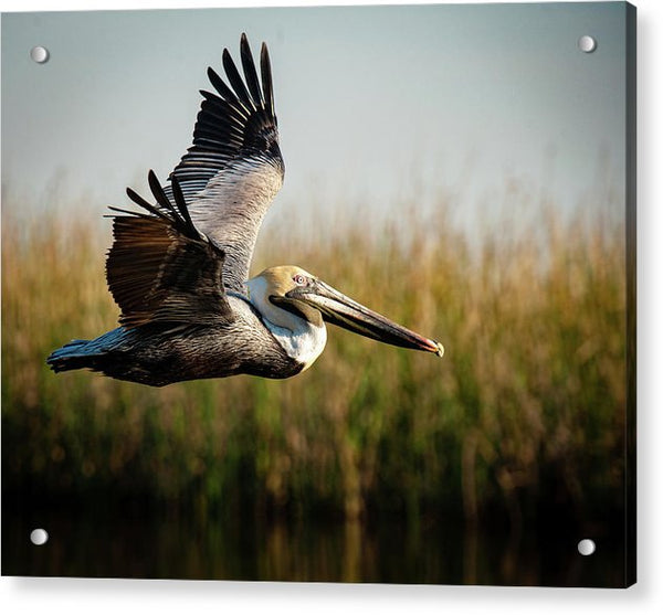 Brown Pelican's Morning Flight - Acrylic Print