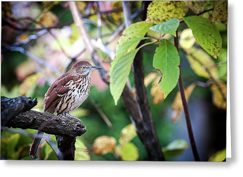 Brown Thrasher In A Tree - Greeting Card