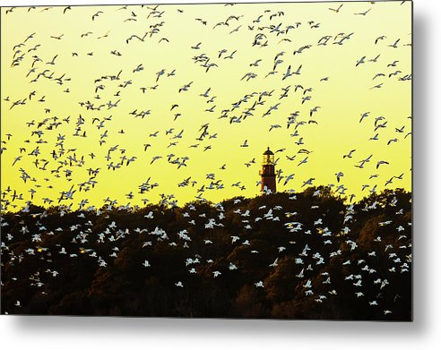 Chincoteague Lighthouse Surrounded By Snow Geese - Metal Print