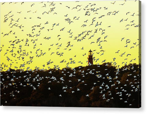 Chincoteague Lighthouse Surrounded By Snow Geese - Acrylic Print