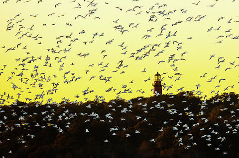 Chincoteague Lighthouse Surrounded By Snow Geese - Art Print
