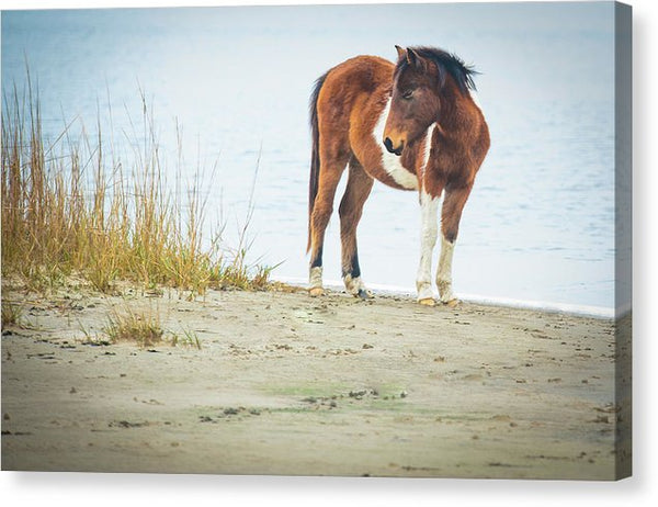 Chingoteague Pony On The Beach - Canvas Print