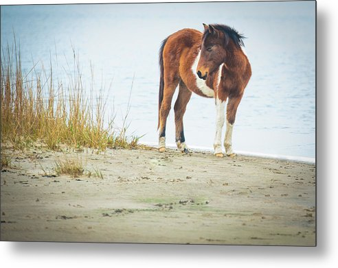Chingoteague Pony On The Beach - Metal Print