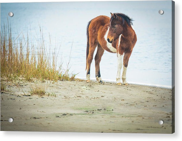 Chingoteague Pony On The Beach - Acrylic Print