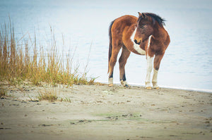 Chingoteague Pony On The Beach - Art Print