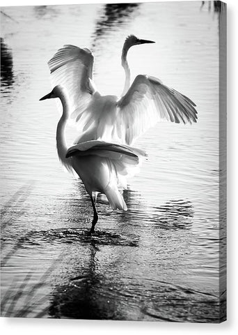 Dancing Egrets - Canvas Print