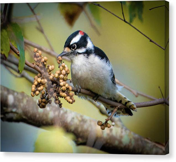 Downy Woodpecker Treat - Canvas Print