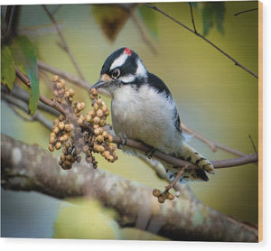 Downy Woodpecker Treat - Wood Print
