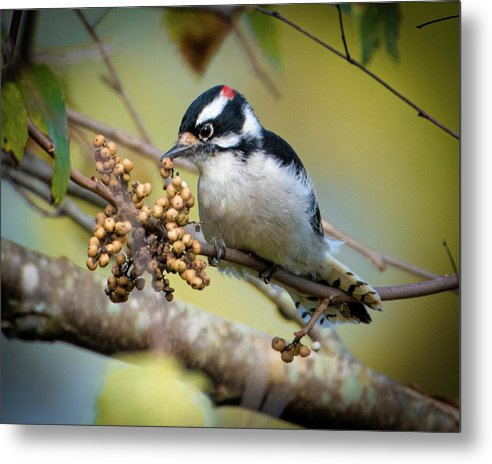 Downy Woodpecker Treat - Metal Print