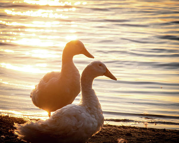 Ducks at Sunset - Art Print