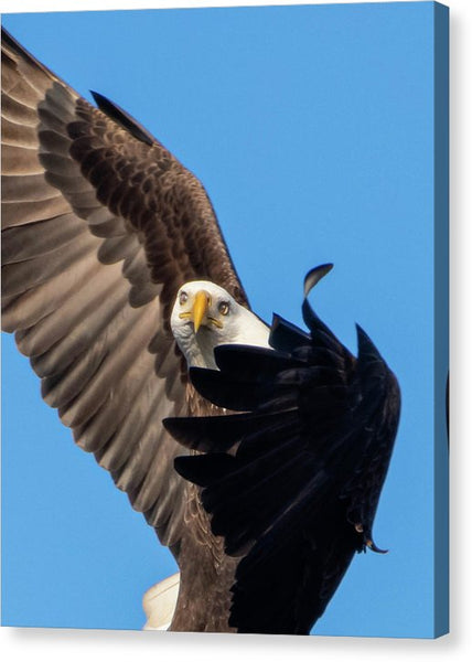 Eagle Mesmerized In Flight - Canvas Print