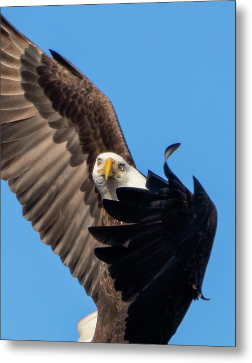 Eagle Mesmerized In Flight - Metal Print
