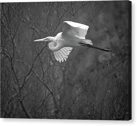 Egret Soaring Through The Fog - Canvas Print