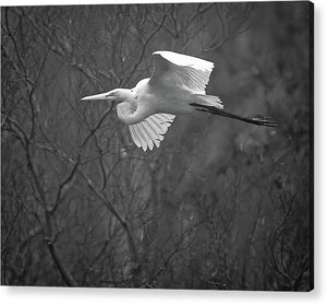 Egret Soaring Through The Fog - Acrylic Print