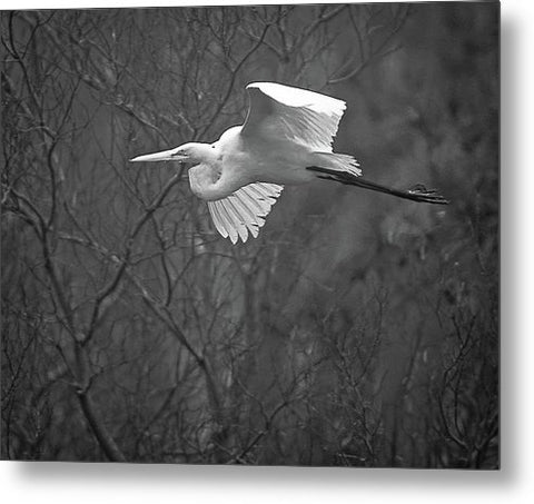 Egret Soaring Through The Fog - Metal Print