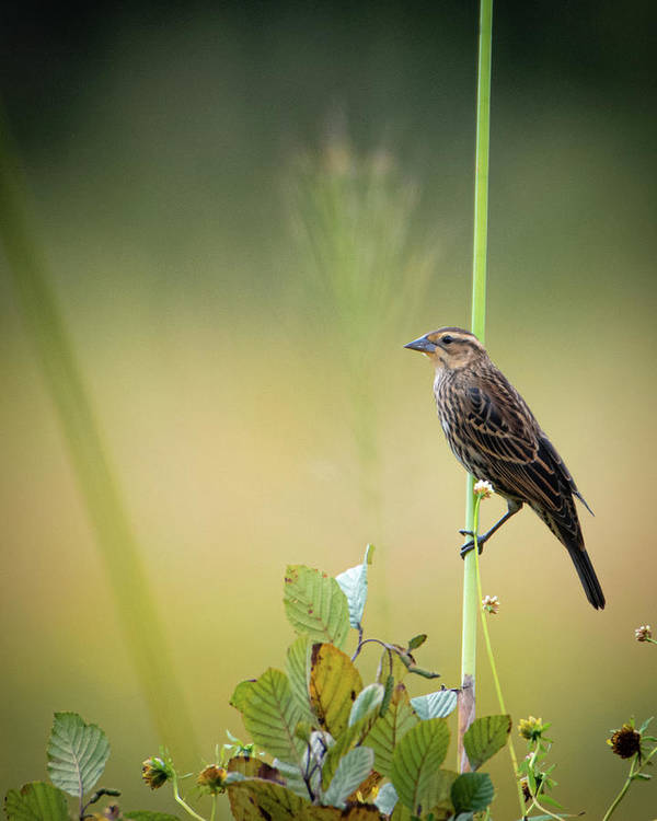 Female Red-Wing Blackbird Gazing - Art Print