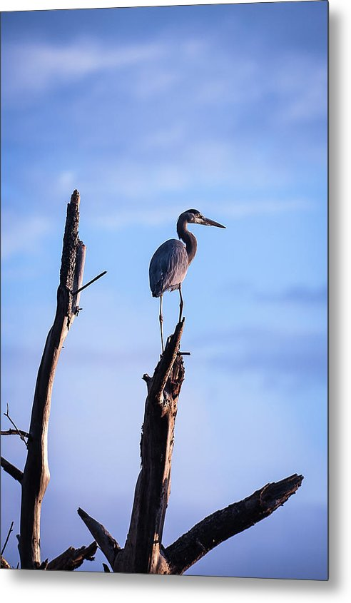 Great Blue Heron On High - Metal Print