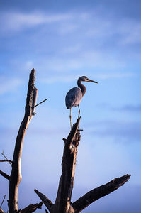 Great Blue Heron On High - Art Print