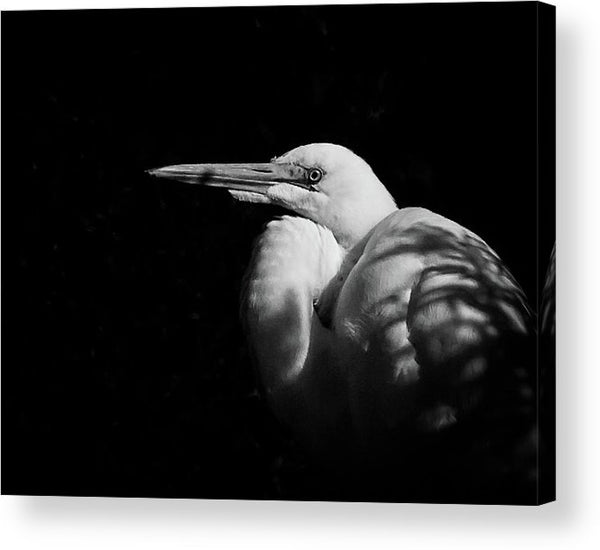 Great Egret In The Shadows - Acrylic Print