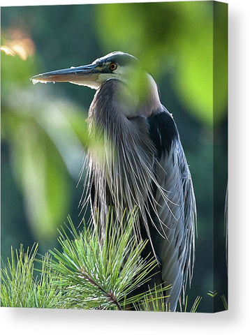 Heron In Hiding - Canvas Print