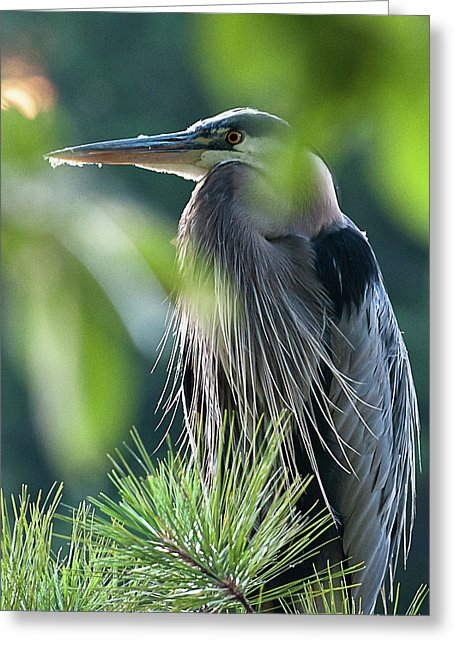 Heron In Hiding - Greeting Card