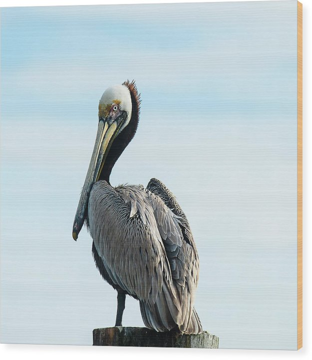 Pelican Pose - Wood Print