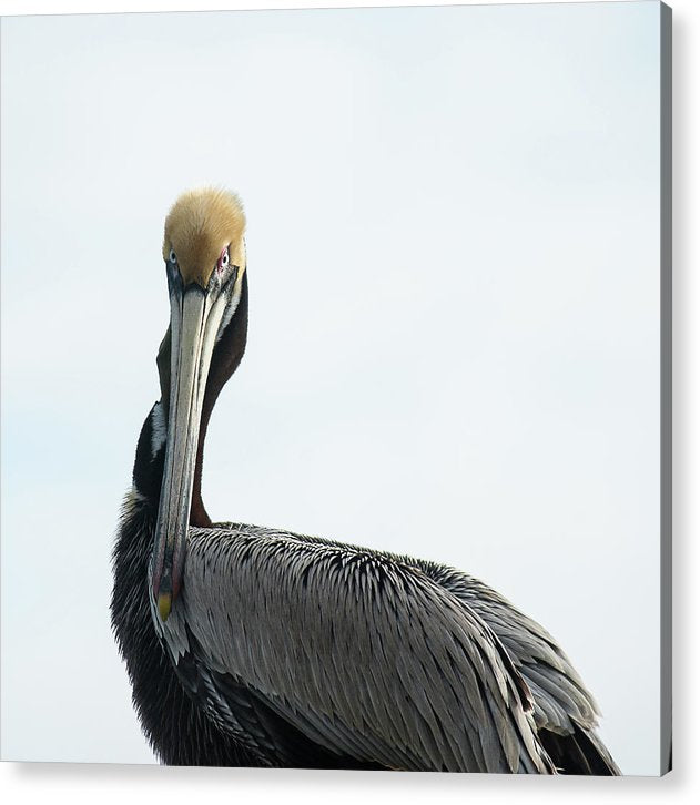 Pelican Prowess - Acrylic Print
