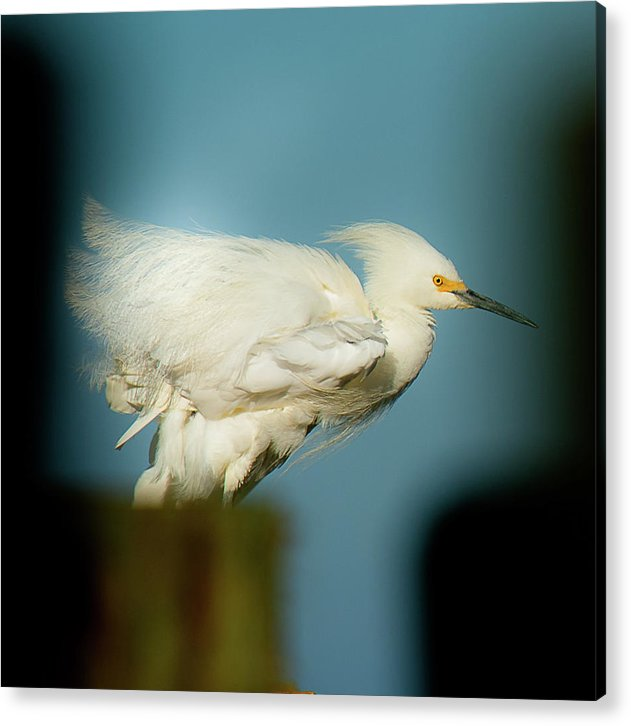 Snowy Egret Perched On A Windy Dock - Acrylic Print