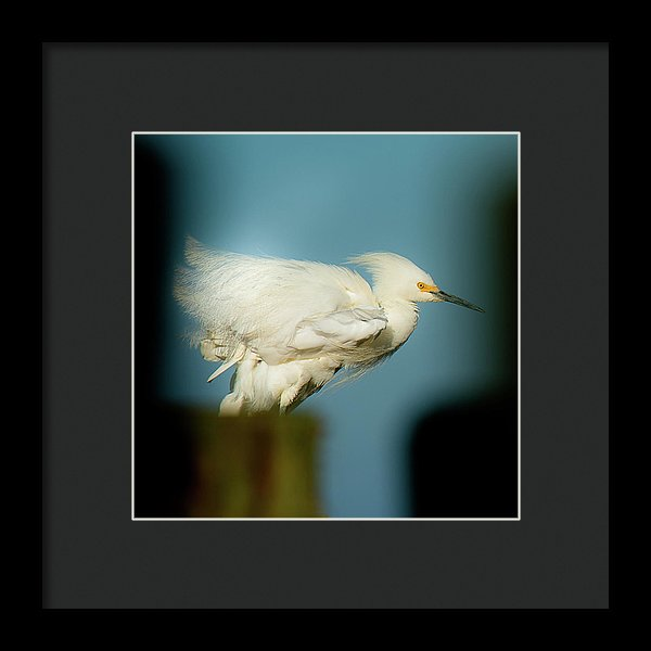 Snowy Egret Perched On A Windy Dock - Framed Print