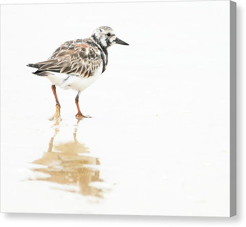 Taking A Stroll - Ruddy Turnstone - Canvas Print