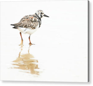 Taking A Stroll - Ruddy Turnstone - Acrylic Print