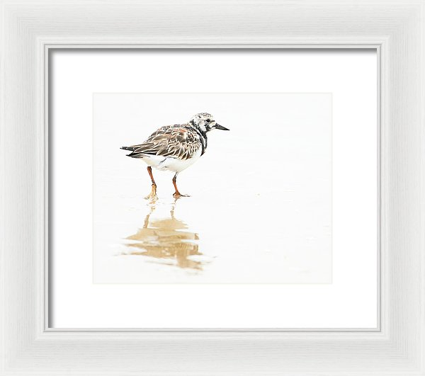 Taking A Stroll - Ruddy Turnstone - Framed Print