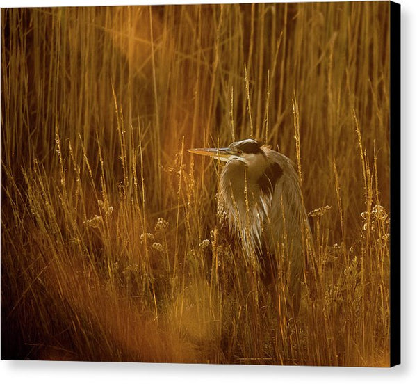 The Golden Great Blue Heron - Canvas Print