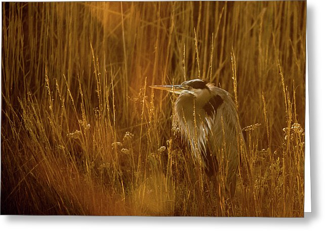 The Golden Great Blue Heron - Greeting Card
