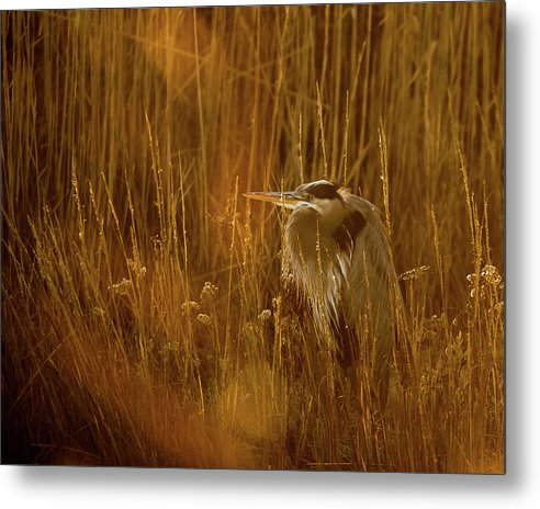 The Golden Great Blue Heron - Metal Print