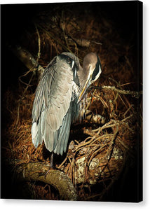 The Grooming Of A Great Blue Heron - Canvas Print
