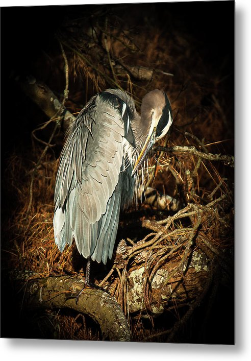 The Grooming Of A Great Blue Heron - Metal Print