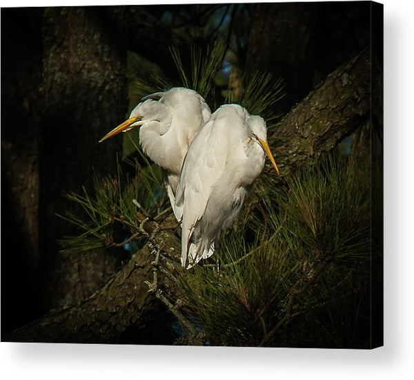 Two Of Hearts Egret Pair - Acrylic Print